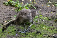 Gosling ashore, Mary Stevens Park, Stourbridge (Dave_A_2007) Tags: england bird nature wildlife goose gosling westmidlands canadagoose brantacanadensis stourbridge