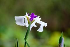 (nobuflickr) Tags: japan kyoto   irisensata  japanesewateriris awesomeblossoms   kajuujitemple 20160605dsc01729