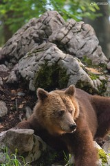 Brown bear 12 - Slovenia (Sinar84 - www.captures.ch) Tags: 2016 animal bear black blue brown brownbear cliff europa juni karst kocevska notranjska notranjskaregionalpark orange red rock slovenia slovenianbearscom summer trees white