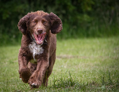 pure joy 26/52 (pollyjaney) Tags: dog happy outdoor joy meadow running depthoffield rufus springerspaniel actionshot 52weeksfordogs