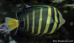 Sailfin Tang (SausageArm) Tags: fish water aquarium nikon marine aqua pretty underwater tank stripes salt stripe salty sail aquatic fin reef striped reefs tang aquatics sailfin d90 18105mm