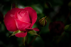 zartes Rot (lotharwillems) Tags: rose rosa rot blume blte makro natur naturfotograf grn pink red flower bloom macro nature wildlifephotographer green flowers l willems