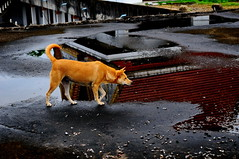 ,, Mama Ready to Pounce ,, (Jon in Thailand) Tags: roof red dog reflection green rain point nose nikon tail ears mama jungle monsoon nikkor stalking k9 rooftile d300 onpoint 175528 littledoglaughedstories thedogpalace