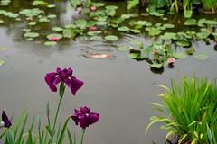 /Iris ensata (nobuflickr) Tags:  irisensata  japanesewateriris awesomeblossoms   kajuujitemple 20160606dsc01655