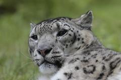 warning! (carlo612001) Tags: animal cat warning leopardo feline leopard snowleopard leopardodellenevi