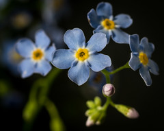 Forget-me-not (TribeChristals) Tags: blue plant flower macro nature field outdoor depth doublefantasy