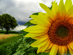 Sunflower (Paolo Gabriele Maiero) Tags: sky plants primavera nature yellow clouds spring nuvole colours natura giallo cielo colori girasole sunsflower orizzontale pianteefiori