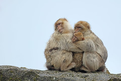 Group hug 2 (M_squared Images) Tags: france lot rocamadour barbarymacaque macacasylvanus fortdessinges msm1935
