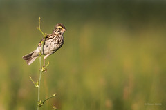 Savannah Sparrow (SimontheTanner) Tags: wild summer green bird nature field grass animal yellow canon outdoors singing natural weekend wildlife birding sparrow birdwatching songbird savannahsparrow canon70d canonef100400456isl