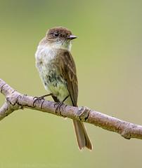 Eastern Phoebe (Nick Saunders) Tags: canada forest woodland phoebe saskatchewan easternphoebe flycatcher upland empidonax empid