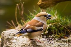 Gros bec (OT38) Tags: nature birds aves oiseaux faune fringillidae hawfinch grosbeccassenoyaux coccothraustescoccothraustes fringillids passriformes