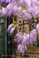 Organza (shirley319) Tags: uk flowers england london purple unitedkingdom may hammersmith wisteria 2016 d600