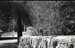 Wall and brush (matthew.vortex) Tags: park kodak kentucky stonewall kodakd76 aristaeduultra100 stampingground retina1