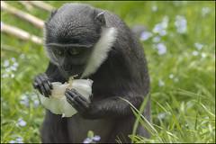 LHoests monkey 3 (Darwinsgift) Tags: zoo monkey d micro af nikkor primate f4 twycross 200mm lhoests