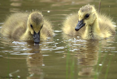 Look...I can make bubbles!! (Captions by Nica... (Fieger Photography)) Tags: goslings birds geese animal baby babybird nature wildlife water outdoor quebec canada bird duckling mammal