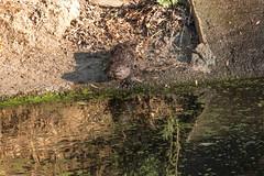 Otter Pup (Sam Schmidt) Tags: california campus arboretum davis otters ucdavis