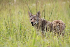 Coyote in the Cove (SeraJayPhotos) Tags: hourse cadescove tennessee greatsmokynationalpark nature coyote