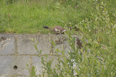 Stoat (Kentish Plumber) Tags: uk nature mammal kent wildlife stock britishwildlife visitorcentre kwt mustelaerminea boughbeech kentwildlifetrust blackbushytailtip