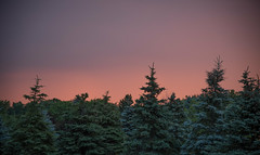 BACKYARD SUNSET SERIES (blink to click) Tags: beautiful beauty canada colorful colors colourful colours evening evergreen forest nature night outdoors peaceful pinetree pink pretty purple relax relaxation serene serenity skies sky sunset tranquil tree view