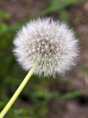 dandelion plant - Taraxacum officinale -  (Ivo Angelov) Tags: world flowers white plant flower macro green nature photography pentax dandelion tamron taraxacum floret naturesfinest   specnature