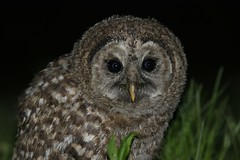 Baby BArred Owl 4 May 6 (Carolynmue) Tags: