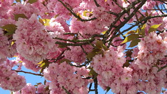 May (catarina.berg) Tags: pink flowers tree spring may cherrybloom