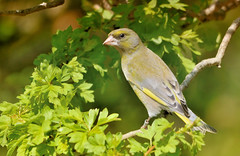 Greenfinch (Osgoldcross Photography) Tags: tree bird nature leaves fly flying leaf spring wings nikon raw branch head beak feathers naturalhistory perched greenfinch plumage rspb twitter twittering rspbfairburnings sigma150500mm perchg nikond7100