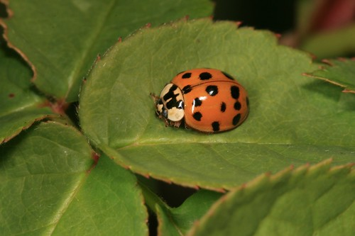 Multicolored Asian Lady Beetle - Harmonia axyridis IMG_7758