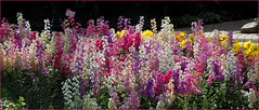spring array (milomingo) Tags: flower nature garden botanical spring bloom spike horticulture multicolor columnar