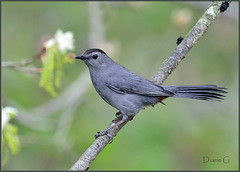 Catbird (Diane G. Zooms) Tags: nature birds ngc npc catbird wildbirds greycatbird supershot specanimal fantasticnature simplysuperb coth5 sunrays5 catbirdphotos
