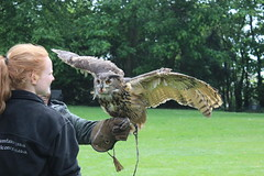 IMG_1766 (lisahud82) Tags: bird castle barn eagle hawk owl prey harris striped lavenham falconry peruvian hedingham