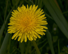 Dandelion (moelynphotos) Tags: flowers nature ct dandelion niantic moelynphotos