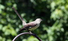 Northern Mockingbird (Caz Ann) Tags: mockingbird