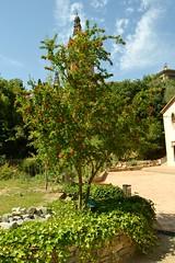 JARDÍ BOTÀNIC HISTÒRIC: PUNICA GRANATUM - PUNCACEAE - MAGRANER (Yeagov_Cat) Tags: barcelona catalunya montjuïc 2016 jardí botànic jardíbotànic punicagranatum punicaceae històric magraner jardíbotànichistòric barcelonabarcelonabotàniccatalunyacatalunyajardíjardíbotànicjardíbotànichistòricjardíbotànichistòricdebarcelonamontjuïc1930piusfontiquer