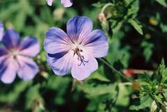 Blue Geranium in Film SOOC (rosewoodoil) Tags: blue 100views 100 50 geranium 50views blueandgreen blueflowers photographedublin somethingblueinmylife