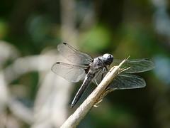 Libellule du marais de Bonnefont (benalu41) Tags: lot vert marais libellule patrimoine quercy