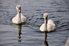 Siblings (Hanzy2012) Tags: toronto swan pond nikon cygnet 18200mm d90 woodbinepark