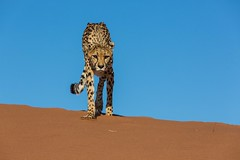 20130616_Namibia_Kiki_at_Dunes_0117.jpg (Bill Popik) Tags: africa kiki mammals namibia cheetahs 2places 3animals africancats