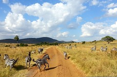 Lines In Motion (Universal Stopping Point) Tags: dirtroad masaimara kenyasafari zebrarunning countrysavannah flickrandroidapp:filter=none