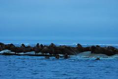 Walrus Hunt 8_5_13 1 130 (efusco) Tags: ocean sea ice alaska native arctic butcher hunter beaufort walrus hunt midnightsun iceburg floe inupiat inupiaq aivik femalewalrushunt85131