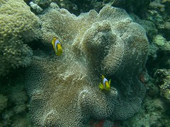 Clown Fish Staring at Me (California Will) Tags: redsea jeddah saudiarabia ksa amphiprioninae