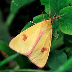 Yellow moth (STE) Tags: macro yellow photography photo foto photographer photos moth buff arctiidae fotografia stefano fotografo clouded falena gialla trucco tamron90 sannio diacrisia zush stefanotrucco