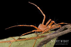 Lynx Spider (Oxyopidae) - DSC_1968 (nickybay) Tags: macro spider singapore lynx pulauubin oxyopidae