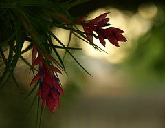Contre Jour (Shelby's Trail) Tags: sun fence bokeh airplant contrejour blooming tsc eightdaysaweek twtme shootingagainstthelight thesundaychallenge