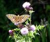 Butterfly (Nigel_Brown) Tags: uk greatbritain lumix scotland unitedkingdom panasonic islay gb stockphoto 2013 nigelbrown dmctz8 tz8