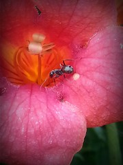 ant explorer (Moyer566) Tags: pink summer urban flower garden insect photography ant cellphone samsung milwaukee bloom galaxy3
