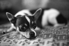 blackandwhite dog chihuahua 35mm adult canine domesticated