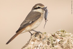 Bon Appetit - Isabelline Shrike (arfromqatar) Tags: ngc qatar  birdsofqatar  arfromqatar  qatar2022fifaworldcup abdulrahmanalkhulaifi  qatarworldcup2122