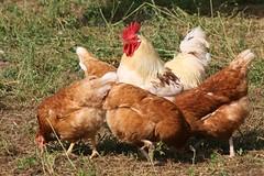Der Hahn Im Korbe (ivlys) Tags: bird animal germany deutschland cock henne hen darmstadt vogel hahn hofgutoberfeld ivlys