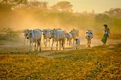 Returning From Pasture 9 (Artypixall) Tags: pagoda cattle dusk burma getty myanmar dust herd bagan faa herder stupas